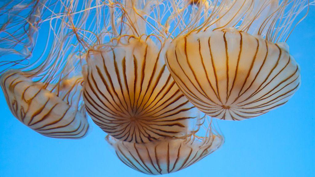 La medusa avispa marina, tu peor pesadilla