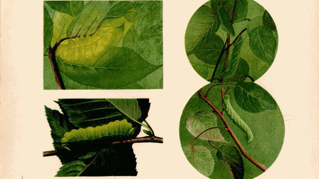 *FOTO: Actias Luna en varias posiciones/ Fuente: H. THAYER, Abbot: 'Concealing-coloration in the animal kingdom', p.183