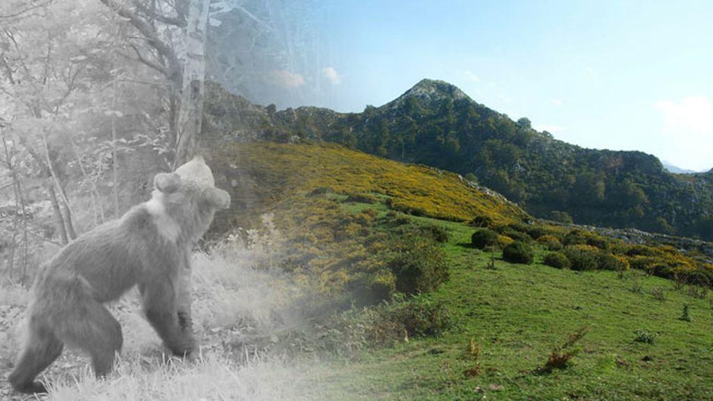 apertura osos asturias
