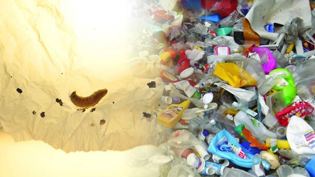 Gusano de cera, enemigo de los plásticos