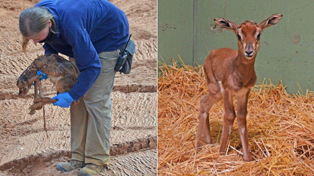 Hablamos con los cuidadores de la cría de gacela Mohrr que nació en Valencia