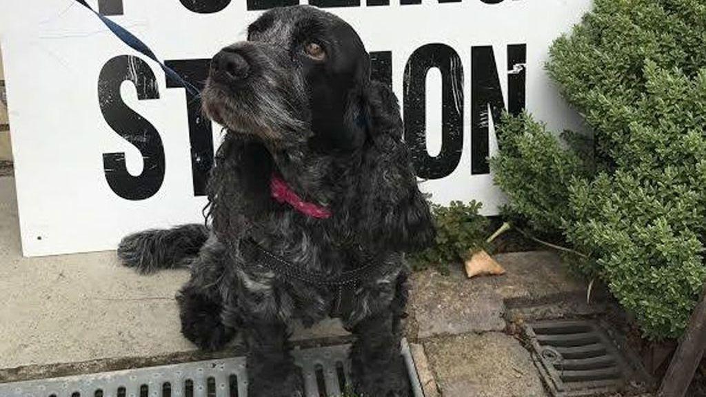 Los perros también acuden a los centros electorales británicos