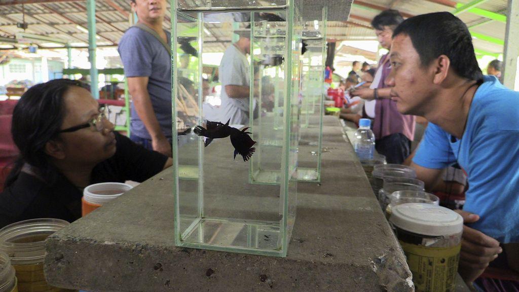 Peleas de peces en Bangkok