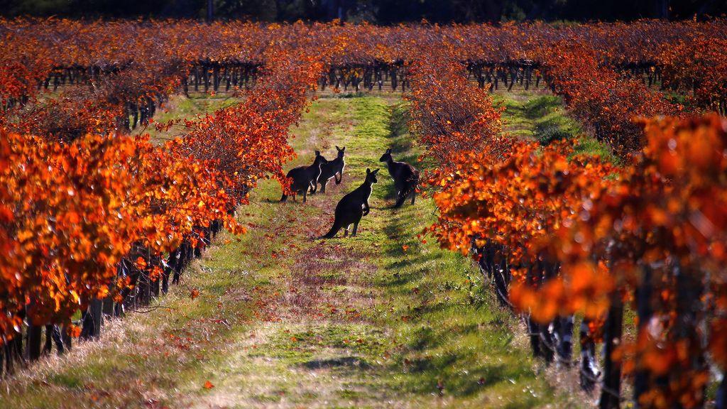Un grupo de canguros de paseo por unos viñedos