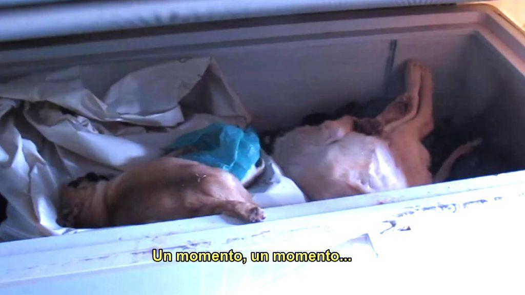 Seprona descubre un congelador lleno de cachorros muertos en un multicriadero