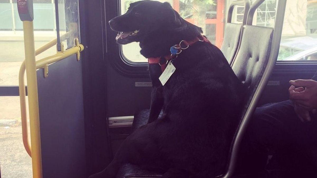 Un perro coge a diario el autobús para llegar a un parque de perros