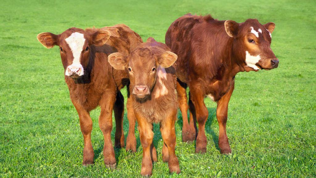 Más de 16 millones de estadunidense creen que el batido de chocolate lo producen las vacas marrones