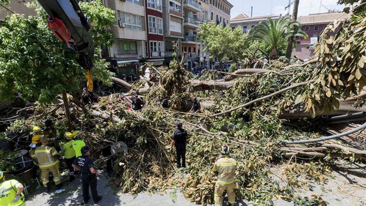 Se cae parte de un ficus centenario en Murcia