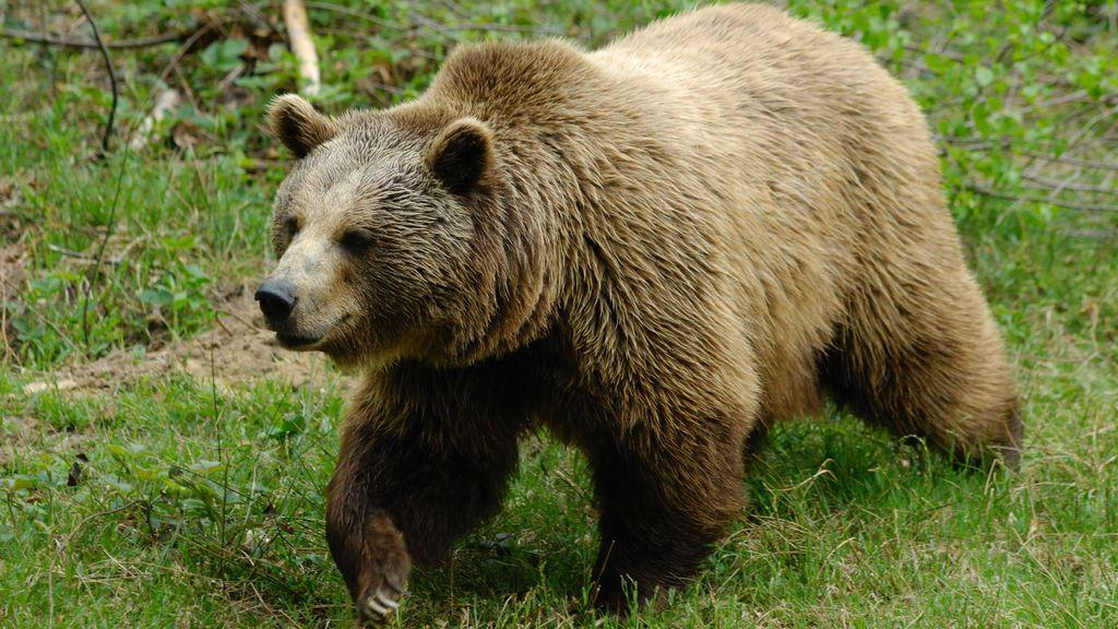 Un oso persiguió y mató a un chico de 16 años durante una carrera en Alaska