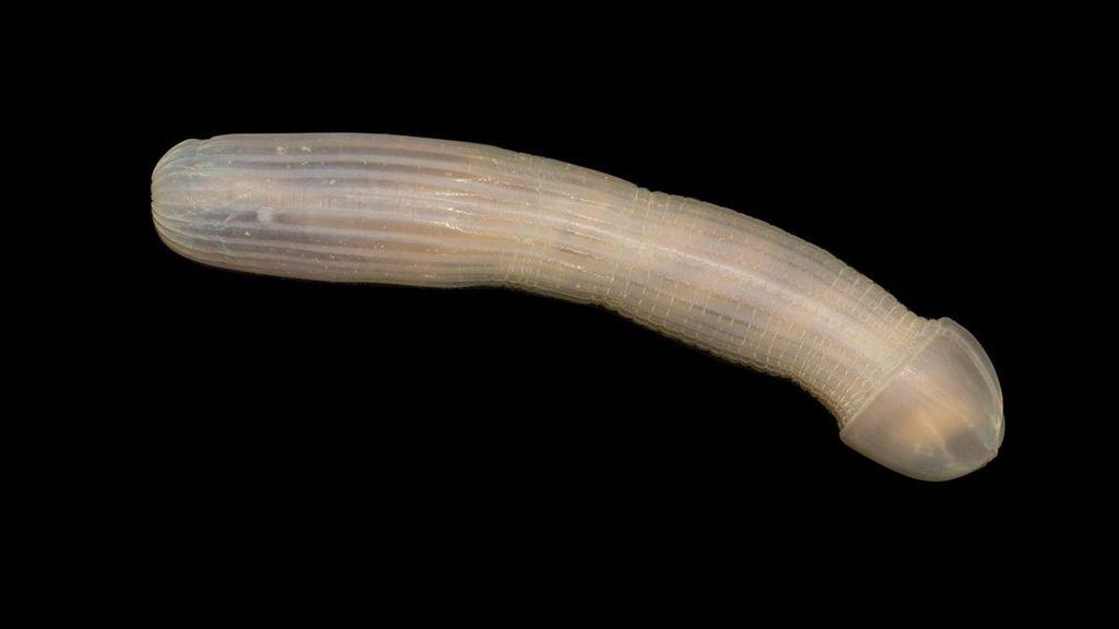 Un gusano con forma de pene, sensanción en la Red