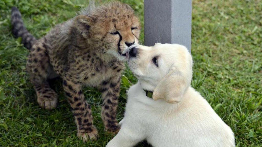 Perros y guepardos, una relación que mejora la reproducción esta especie de felinos