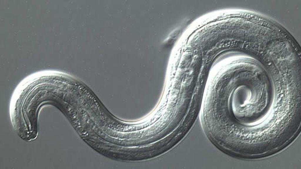 gusano parasito