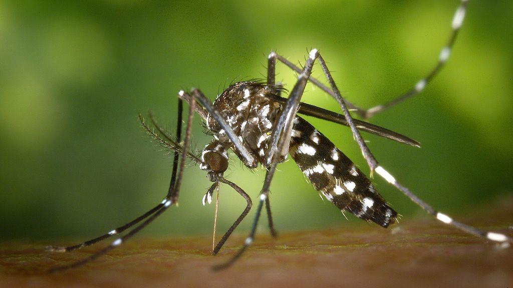 Los mosquitos tigre que te chupan la sangre