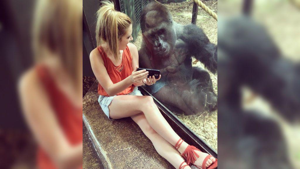 Un gorila, hipnotizado al ver a través del móvil vídeos de otros simios