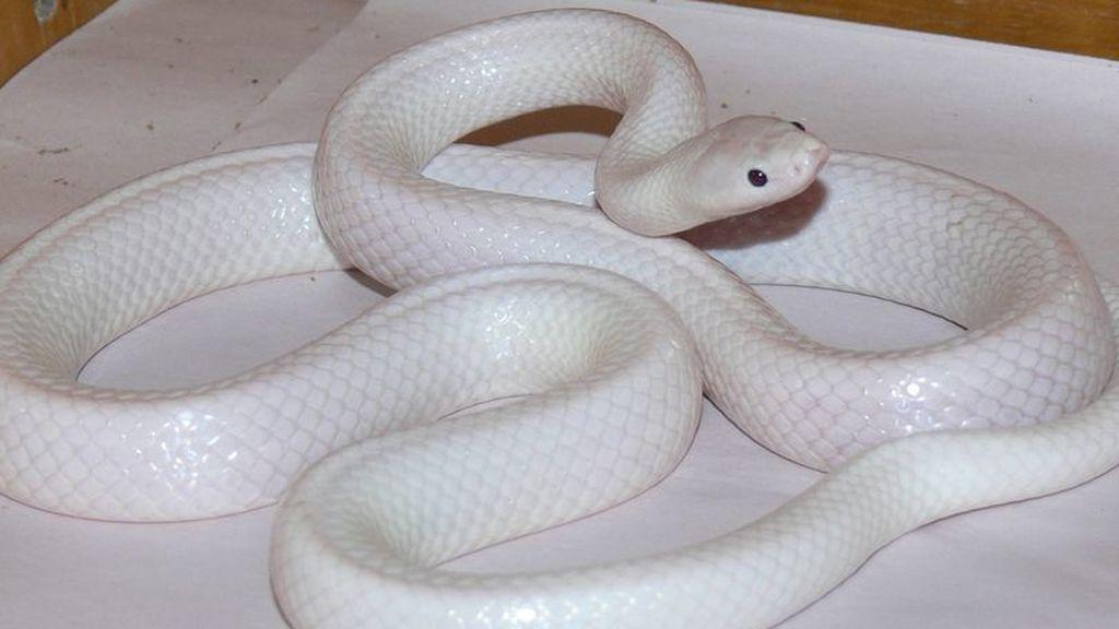 """Descubren una serpiente albina con una """"rara mutación"""""""