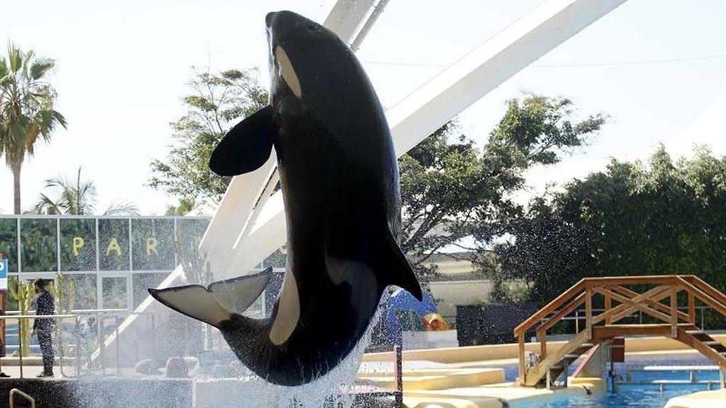 La orca Morgan se recupera tras ser rescatada moribunda