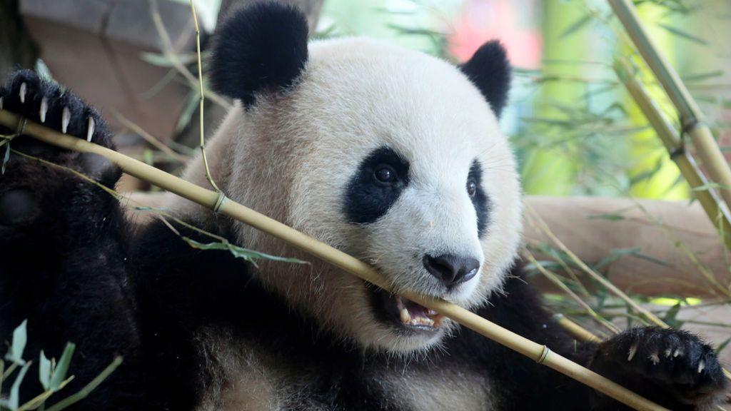 Osa panda en el zoológico de Berlín, Alemania