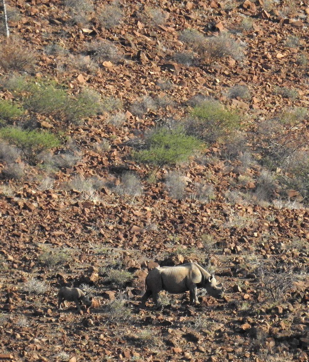 Rinocerontes en Namibia (África)