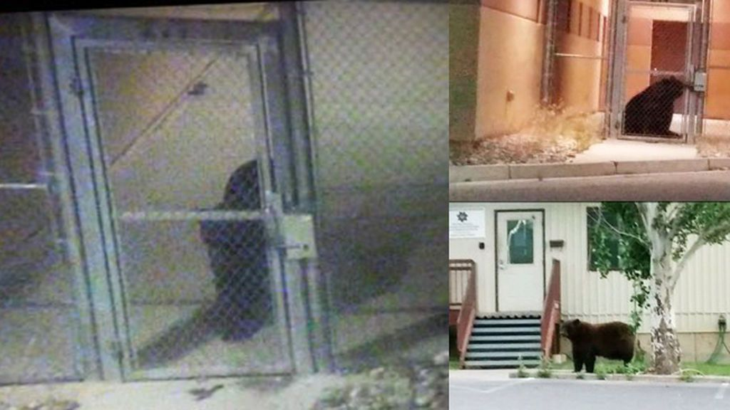 Un oso se hace pasar por un prisionero en una cárcel de Estados Unidos
