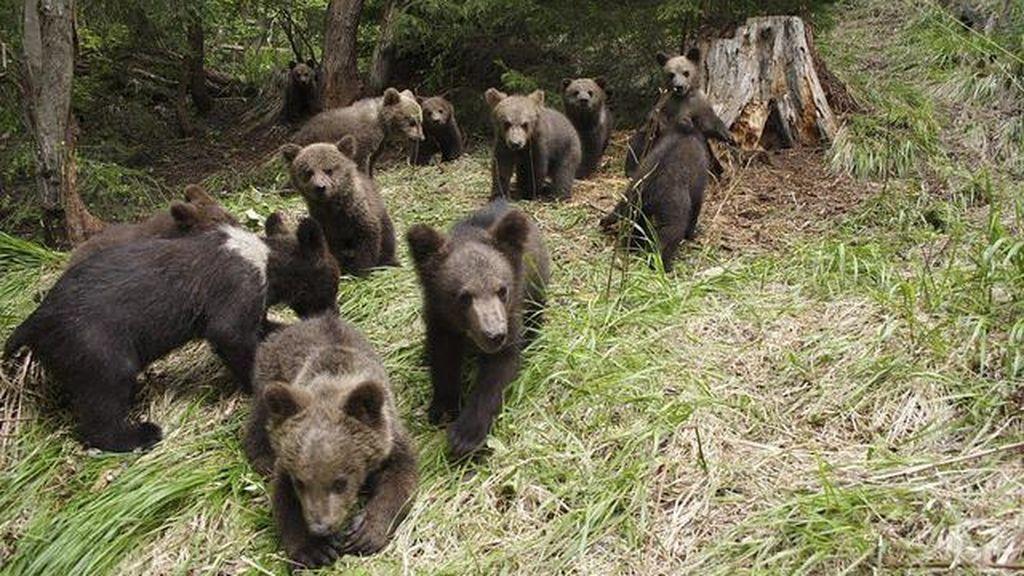 osos, cachorros,