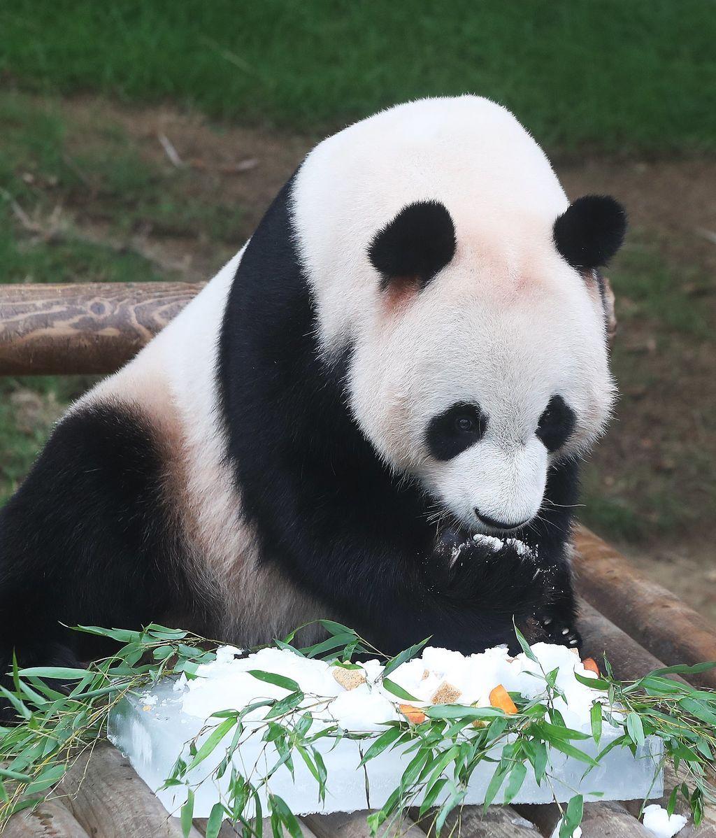 Corea del Sur celebra en julio cumpleaños de osos pandas provenientes de China