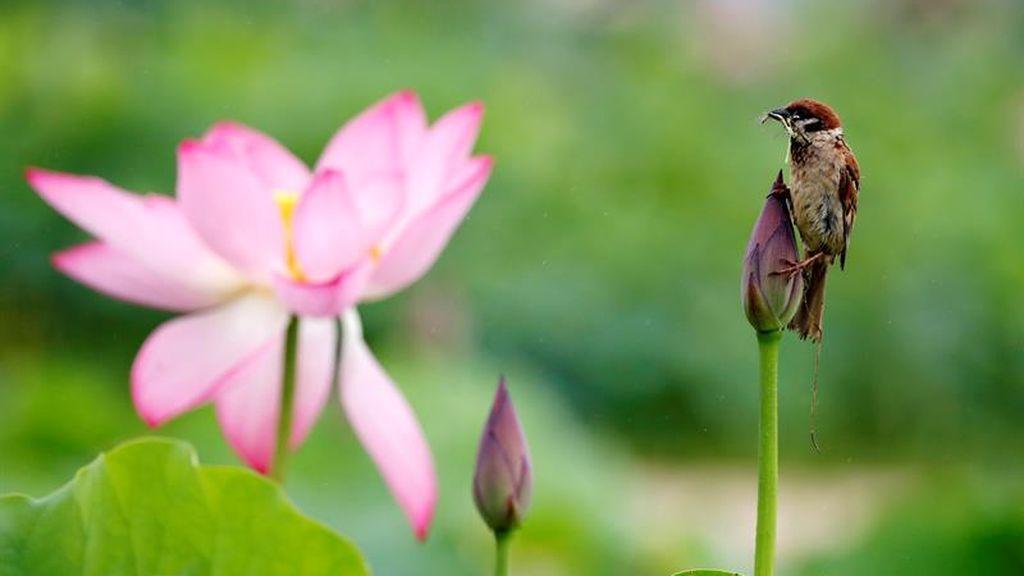 Flores de loto en Corea del Sur