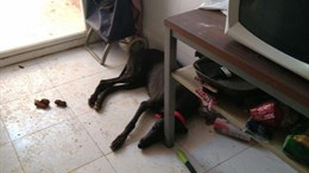 Hallan tres galgos, 20 aves y un hámster en lamentable condiciones en un piso de Usera