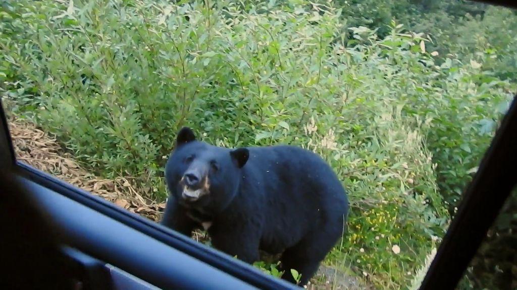 Ver para creer: un oso en el arcén de la carretera sorprende a la familia