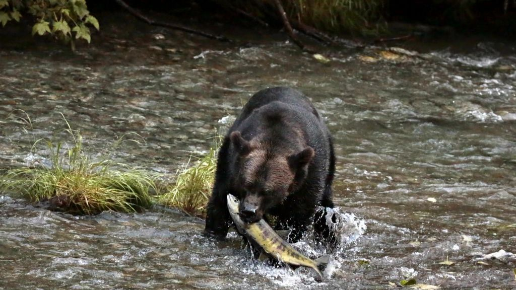 Imágenes impresionantes: por fin vemos un oso Grizzly en directo