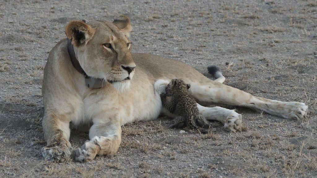 Una leona adopta y amamanta a un cachorro de leopardo en una reserva de Tanzania
