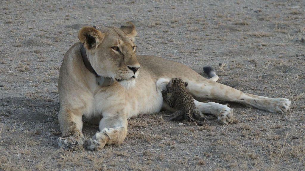 La tierna imagen de una leona cuidando de un cachorro leopardo