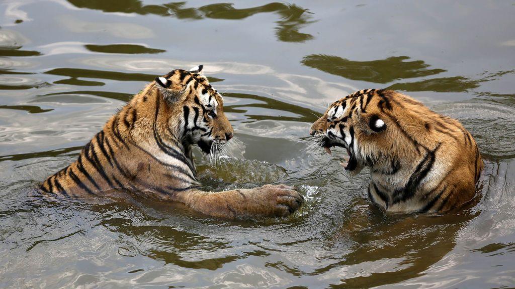 Zoológico de tigres en Huangshan, China