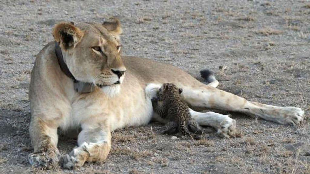 Una escena que nunca antes ha sido vista: una leona amamantando a un leopardo