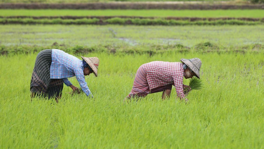 Cultivo de arroz en Birmania