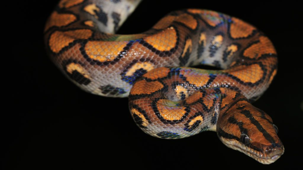 Capturan una serpiente doméstica de más de un metro en una vivienda de Elda (Alicante)