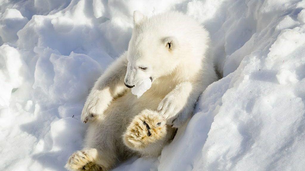 Resultado de imagen para osos polar nieve