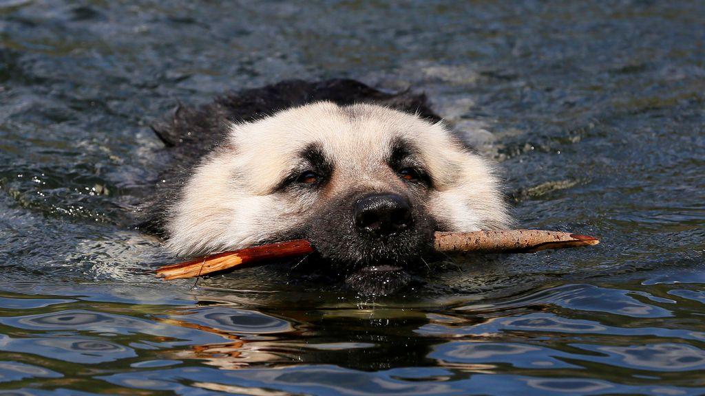 Un perro nada durante un caluroso día de verano en una zona de la taiga siberiana, Rusia