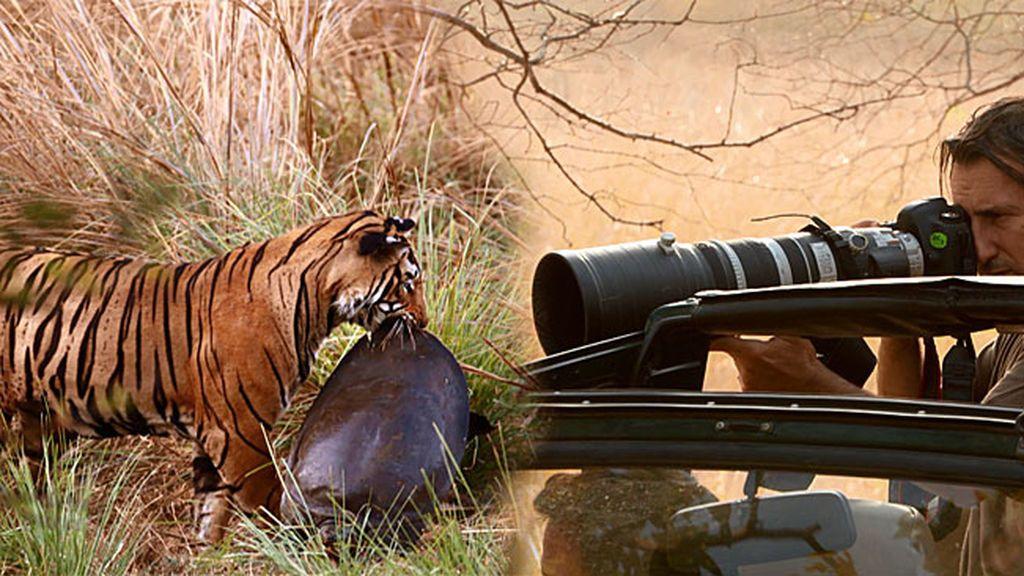 Andoni consigue una fotografía única: El gran tigre de Bengala devorando una tortuga