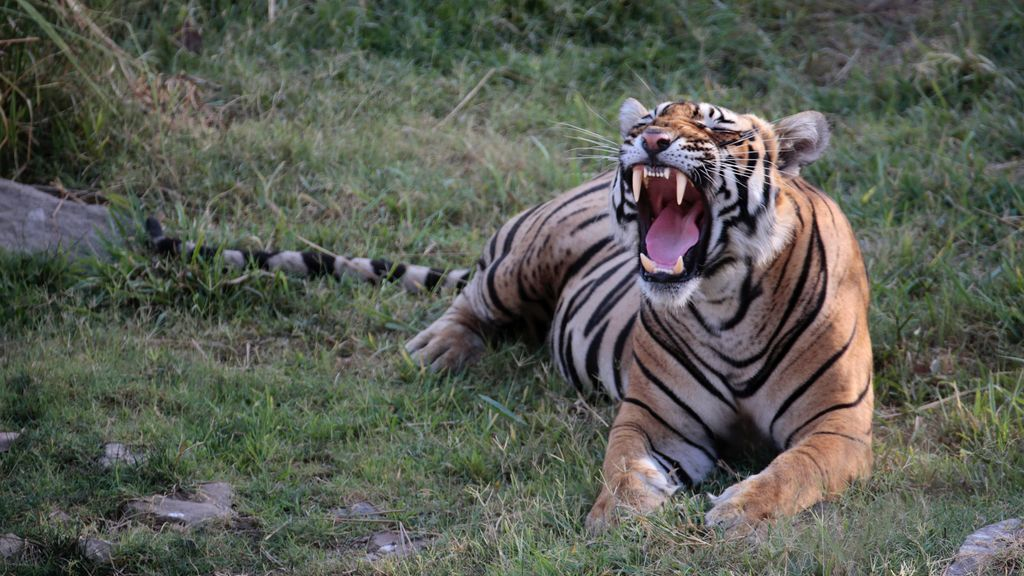 'Espíritu salvaje' viaja hasta la India tras las huellas del tigre de Bengala
