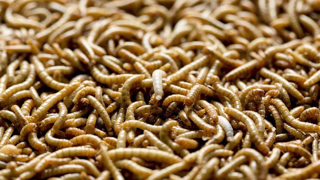 Los huevos de gusano parásito podrían ser vendidos próximamente en Europa