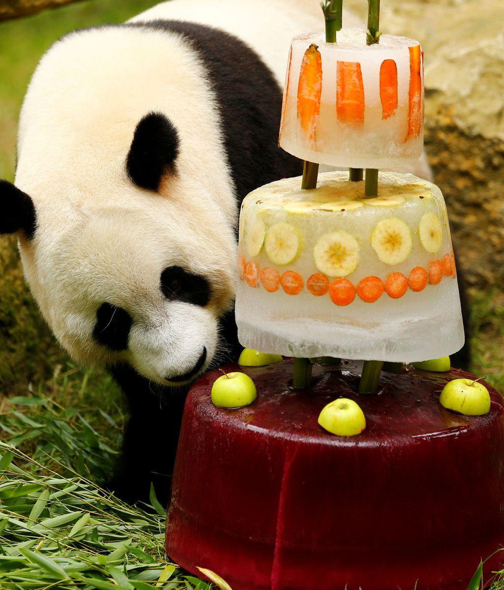 Un oso panda olisquea su tarta de cumpleaños helada en Rhenen, Países Bajos