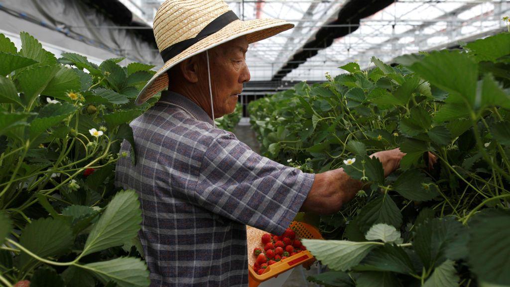 Recolección de fresas en Japón