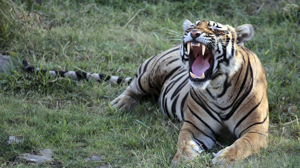 El tigre de bengala. India