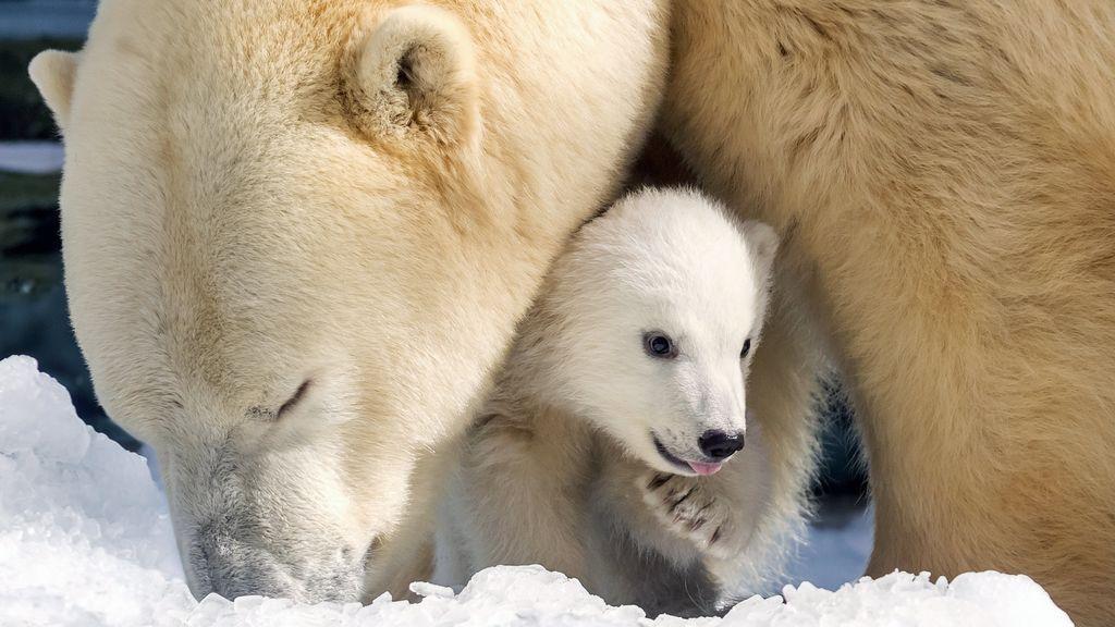 Cachorro de oso polar Mishka en Queensland