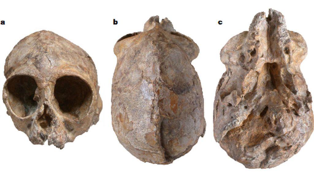 El cráneo de un bebé simio conocido como 'Alesi'