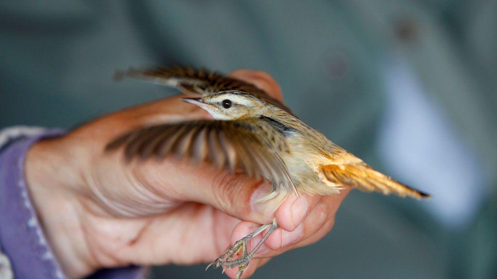 Un biólogo inspecciona a una curruca durante el zumbido de los pájaros en Vrhnika, Eslovenia