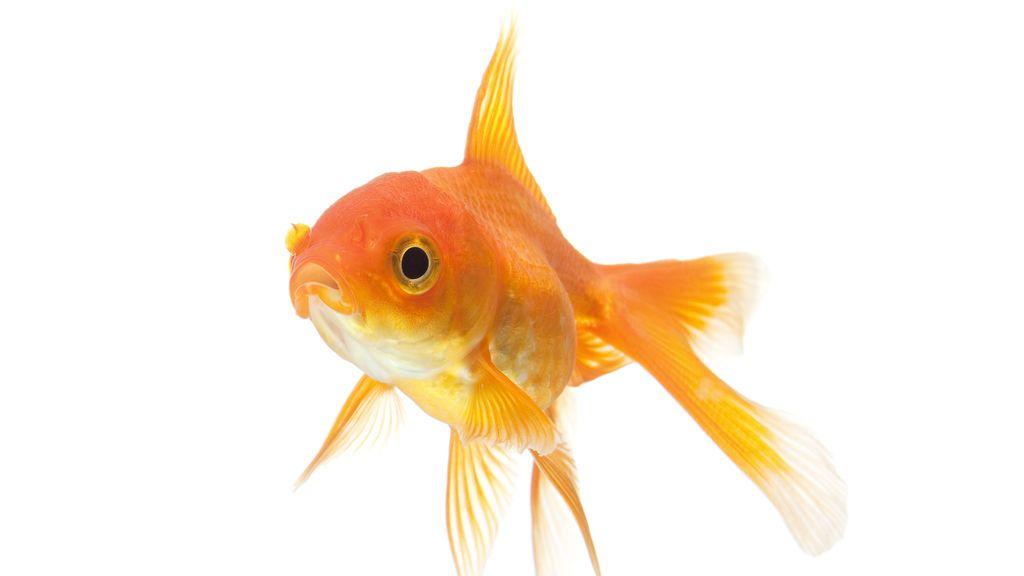 El pez dorado puede producir alcohol dentro de su cuerpo para mantenerse caliente