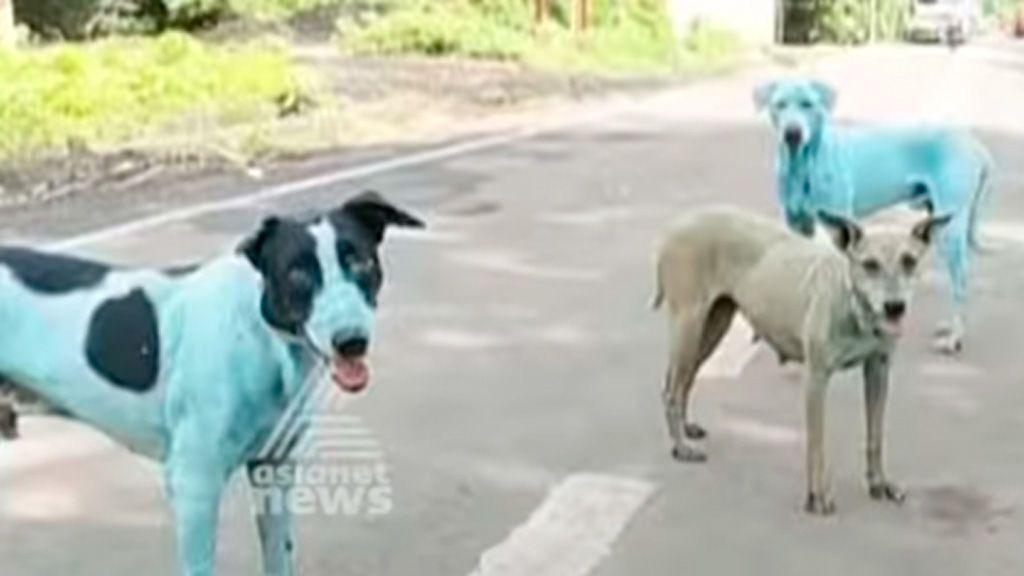 Perros azules: así quedan estos animales tras salir de un río en la India