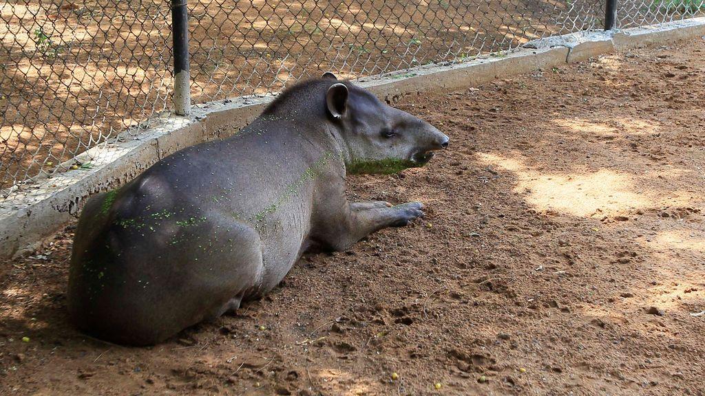 Un tapir descansa en el Parque Zoológico Metropolitano del Zulia