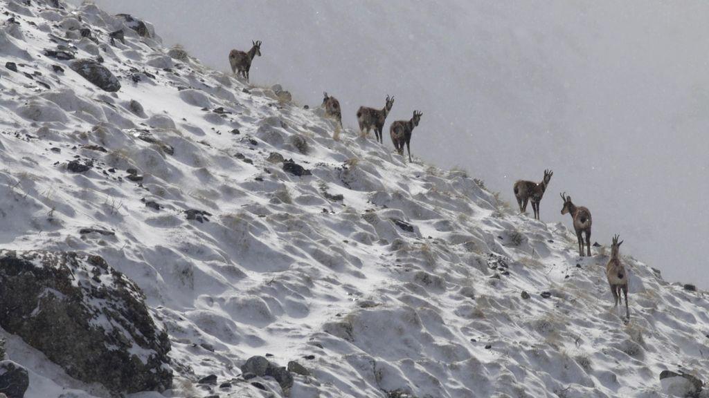 Al mal tiempo, buena cara: La familia aprovecha la nevada para buscar sarrios